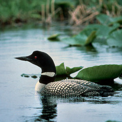 common loon; netstate.com